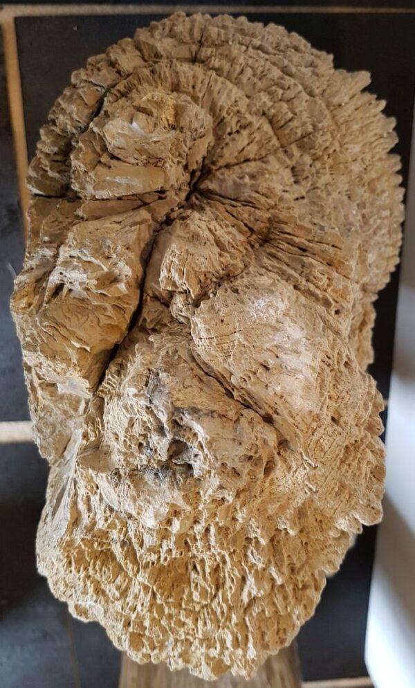 Lapide legno pietrificato 19045