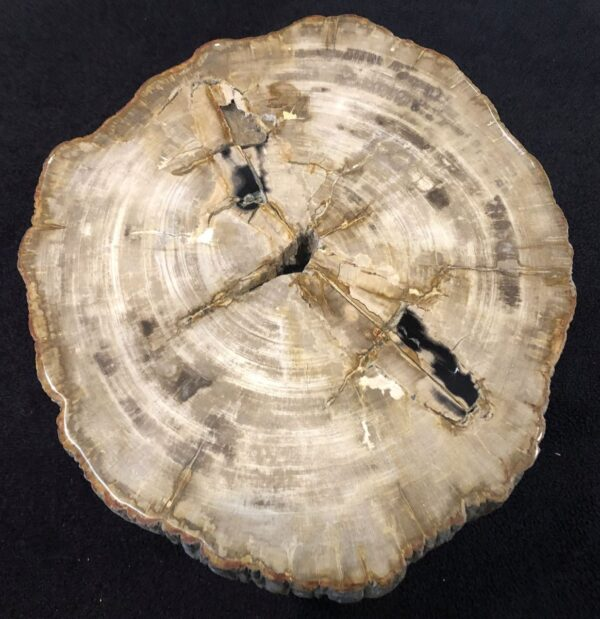 Coffee table petrified wood 31152