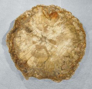 Petrified wood from Madagascar 4014