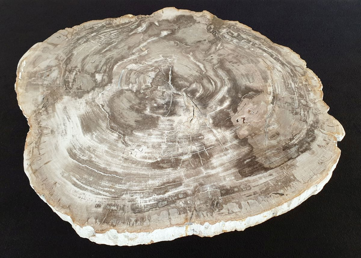 Coffee table petrified wood 32221