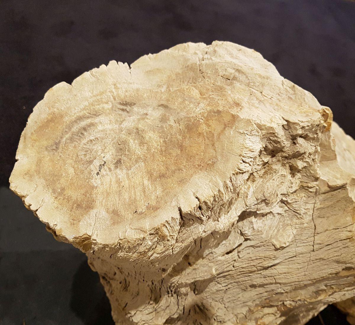 Grafsteen versteend hout 30096