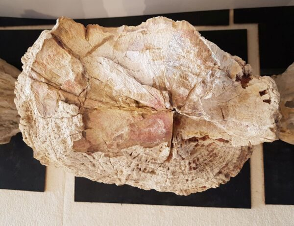 Lápida madera petrificada 31232
