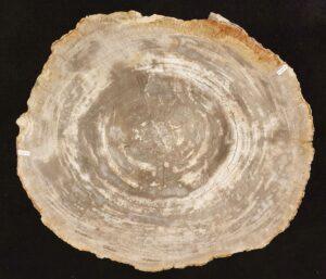 Table basse bois pétrifié 32278