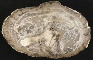 Coffee table petrified wood 33343