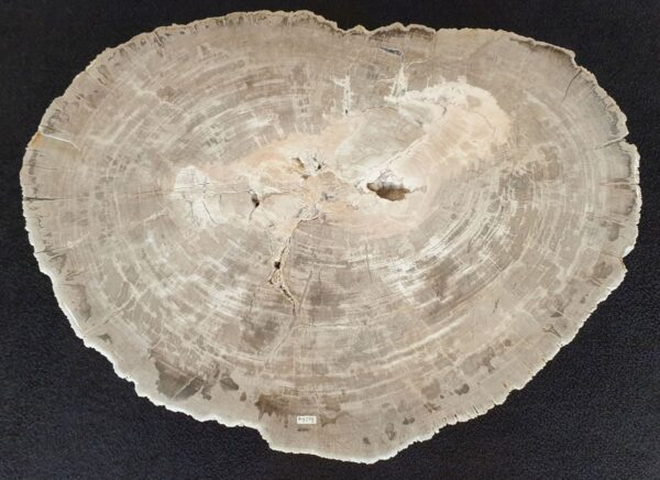 Coffee table petrified wood 33356