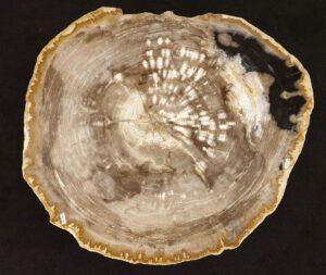 Coffee table petrified wood 32257