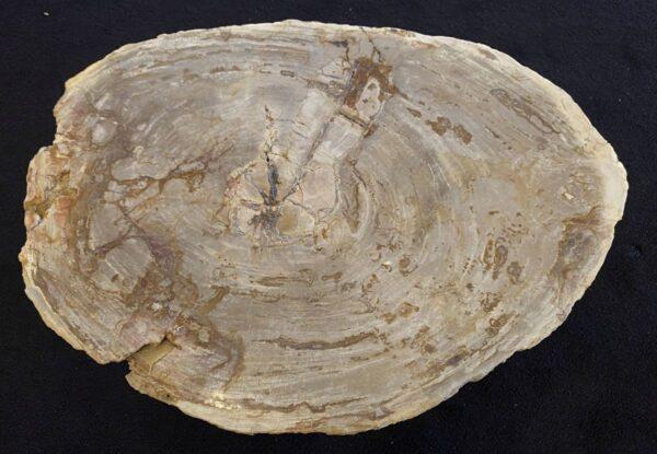 Coffee table petrified wood 34273