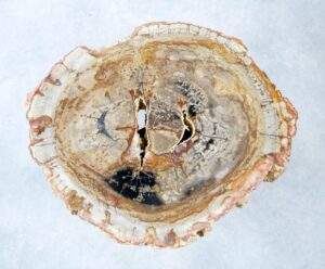 Coffee table petrified wood 35281
