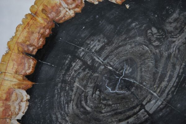 Plate petrified wood 36049f