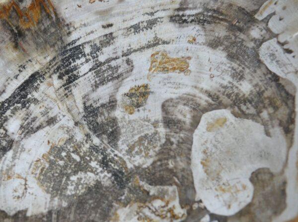 Plate petrified wood 36050i